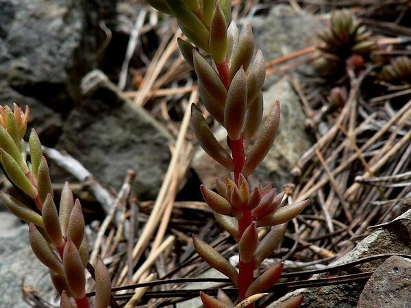 Spearleaf Stonecrop (Sedum Lanceolatum) https://www.sagebud.com/spearleaf-stonecrop-sedum-lanceolatum