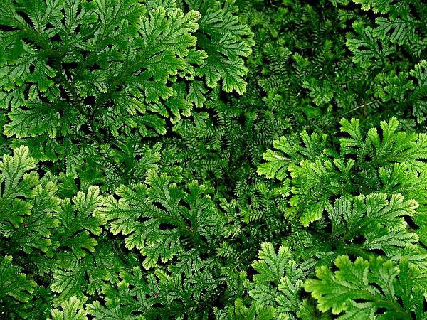 Spikemoss (Selaginella) https://www.sagebud.com/spikemoss-selaginella