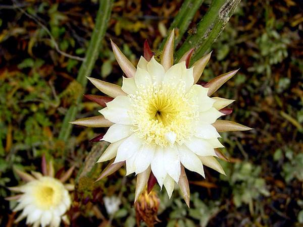 Moonlight Cactus (Selenicereus) https://www.sagebud.com/moonlight-cactus-selenicereus