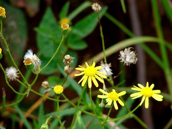 Madagascar Ragwort (Senecio Madagascariensis) https://www.sagebud.com/madagascar-ragwort-senecio-madagascariensis
