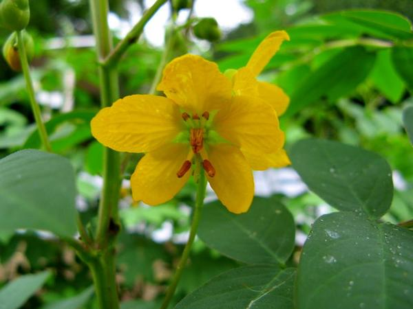 Septicweed (Senna Occidentalis) https://www.sagebud.com/septicweed-senna-occidentalis