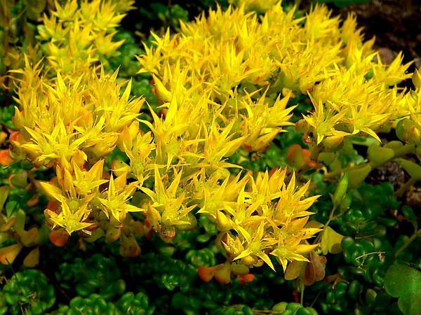 Oregon Stonecrop (Sedum Oreganum) https://www.sagebud.com/oregon-stonecrop-sedum-oreganum/