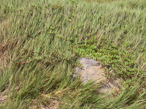 Shoreline Seapurslane (Sesuvium Portulacastrum) https://www.sagebud.com/shoreline-seapurslane-sesuvium-portulacastrum
