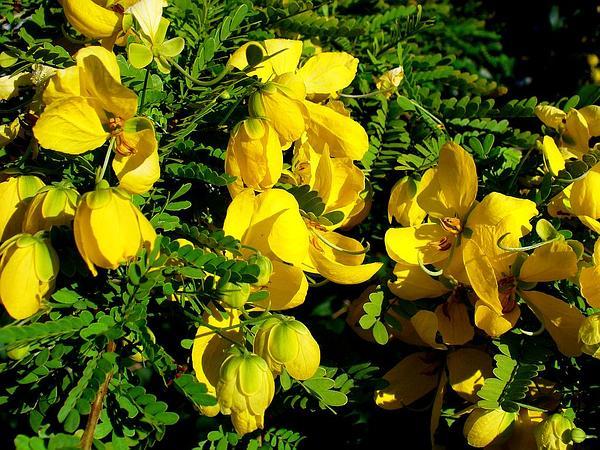 Retama Prieta (Senna Polyphylla) https://www.sagebud.com/retama-prieta-senna-polyphylla/