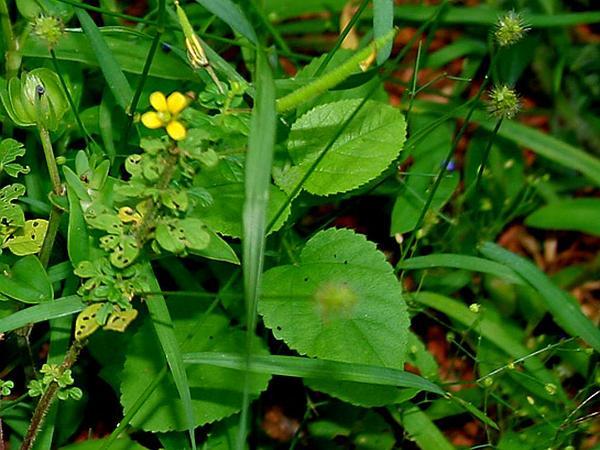 Yellow Foxtail (Setaria Pumila) https://www.sagebud.com/yellow-foxtail-setaria-pumila