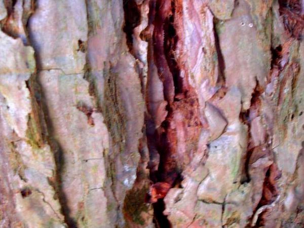 Redwood (Sequoia) https://www.sagebud.com/redwood-sequoia