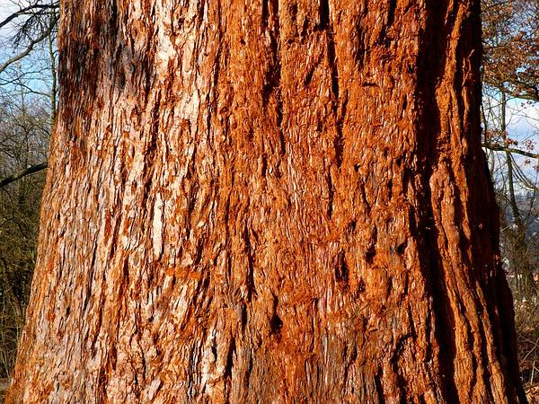 Giant Sequoia (Sequoiadendron) https://www.sagebud.com/giant-sequoia-sequoiadendron