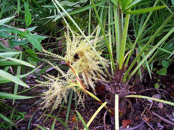 Saw Palmetto (Serenoa Repens) https://www.sagebud.com/saw-palmetto-serenoa-repens/