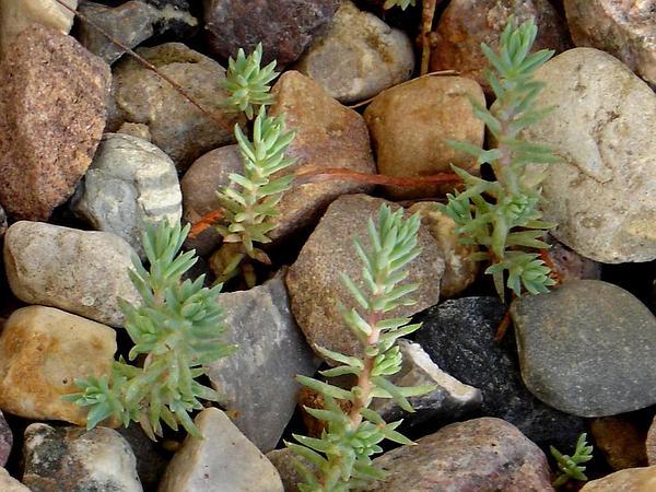 Jenny's Stonecrop (Sedum Reflexum) https://www.sagebud.com/jennys-stonecrop-sedum-reflexum