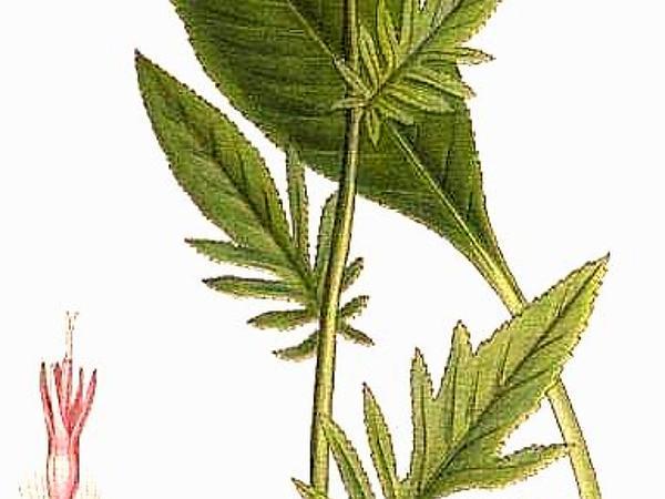 Plumeless Saw-Wort (Serratula) https://www.sagebud.com/plumeless-saw-wort-serratula/