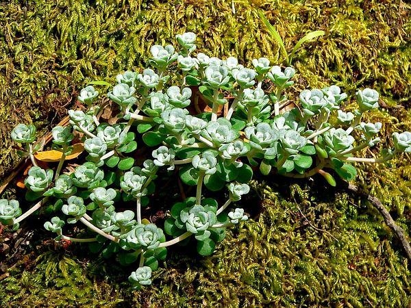 Broadleaf Stonecrop (Sedum Spathulifolium) https://www.sagebud.com/broadleaf-stonecrop-sedum-spathulifolium
