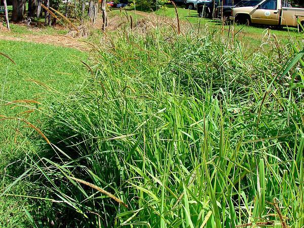 African Bristlegrass (Setaria Sphacelata) https://www.sagebud.com/african-bristlegrass-setaria-sphacelata