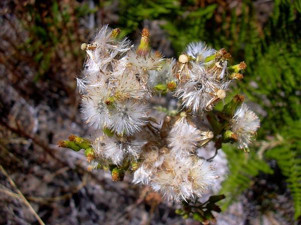 Woodland Ragwort (Senecio Sylvaticus) https://www.sagebud.com/woodland-ragwort-senecio-sylvaticus