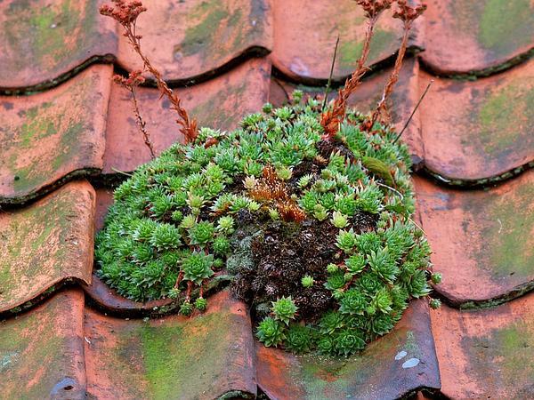 Common Houseleek (Sempervivum Tectorum) https://www.sagebud.com/common-houseleek-sempervivum-tectorum