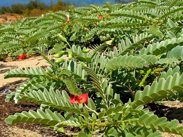 Oahu Riverhemp (Sesbania Tomentosa) https://www.sagebud.com/oahu-riverhemp-sesbania-tomentosa