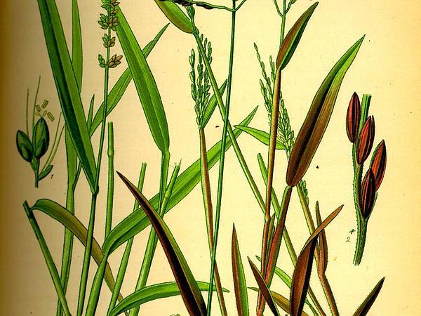 Hooked Bristlegrass (Setaria Verticillata) https://www.sagebud.com/hooked-bristlegrass-setaria-verticillata