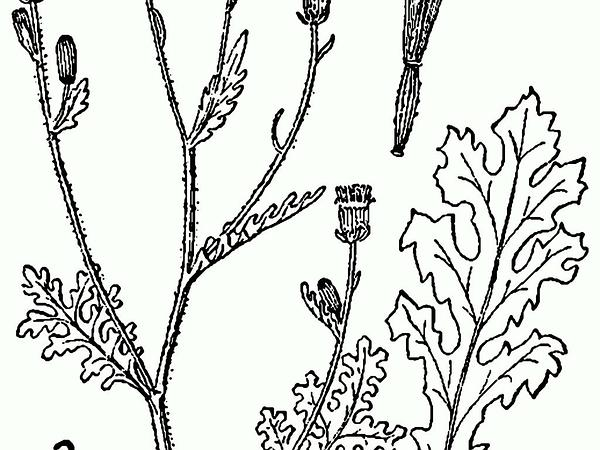Sticky Ragwort (Senecio Viscosus) https://www.sagebud.com/sticky-ragwort-senecio-viscosus