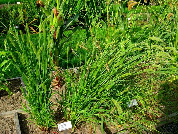 Green Bristlegrass (Setaria Viridis) https://www.sagebud.com/green-bristlegrass-setaria-viridis