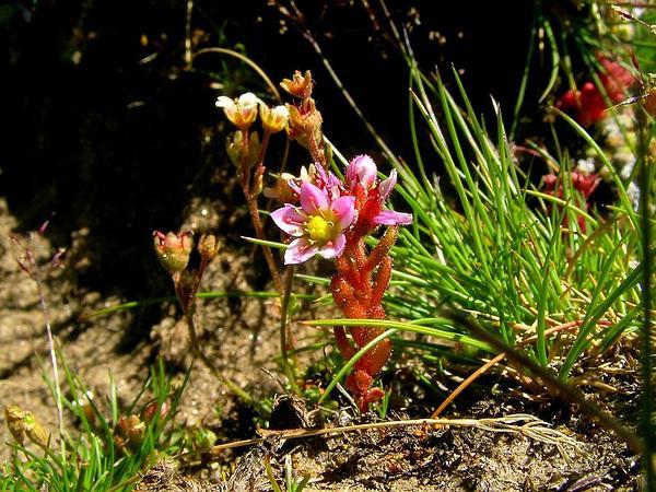 Purple Stonecrop (Sedum Villosum) https://www.sagebud.com/purple-stonecrop-sedum-villosum