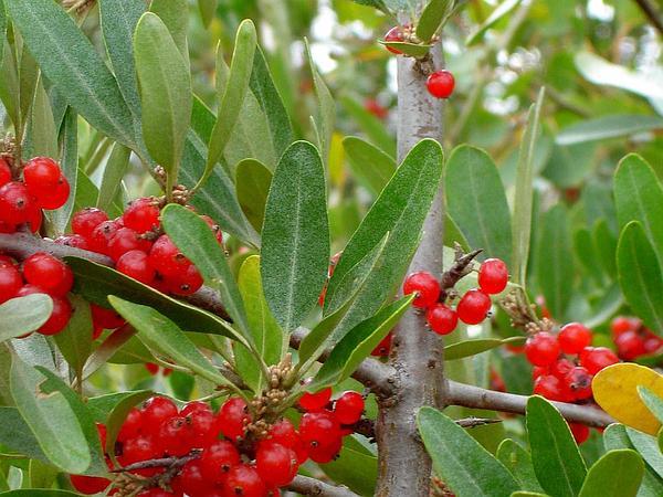 Silver Buffaloberry (Shepherdia Argentea) https://www.sagebud.com/silver-buffaloberry-shepherdia-argentea