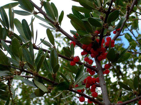 Buffaloberry (Shepherdia) https://www.sagebud.com/buffaloberry-shepherdia