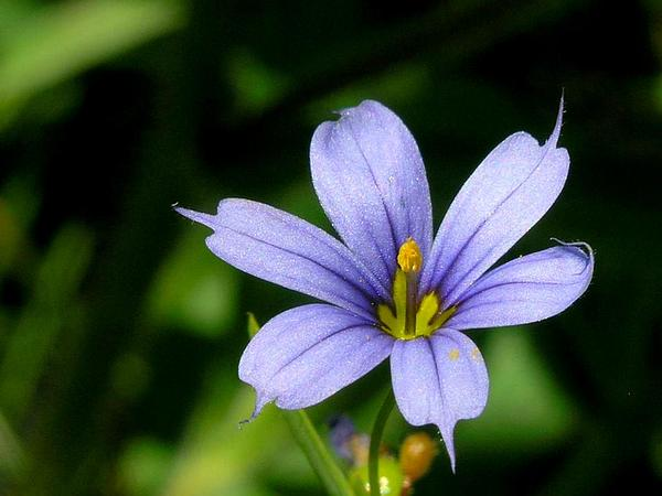 Narrowleaf Blue-Eyed Grass (Sisyrinchium Angustifolium) https://www.sagebud.com/narrowleaf-blue-eyed-grass-sisyrinchium-angustifolium