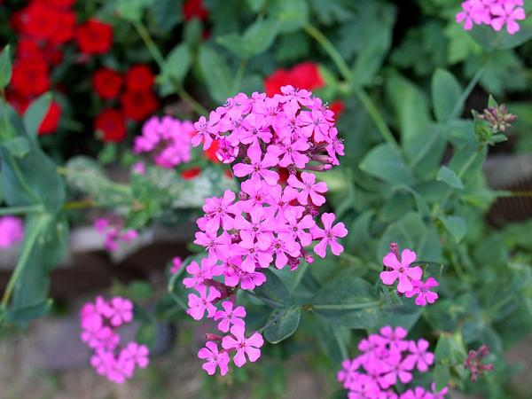 Sweet William Silene (Silene Armeria) https://www.sagebud.com/sweet-william-silene-silene-armeria