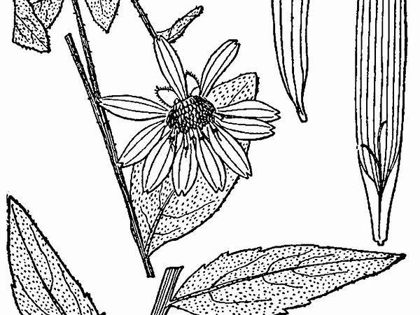 Starry Rosinweed (Silphium Asteriscus) https://www.sagebud.com/starry-rosinweed-silphium-asteriscus