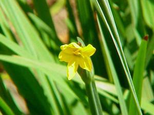Golden Blue-Eyed Grass