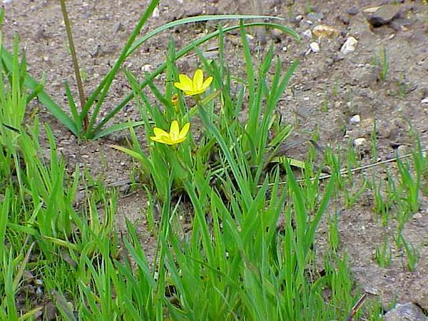 Golden Blue-Eyed Grass (Sisyrinchium Californicum) https://www.sagebud.com/golden-blue-eyed-grass-sisyrinchium-californicum