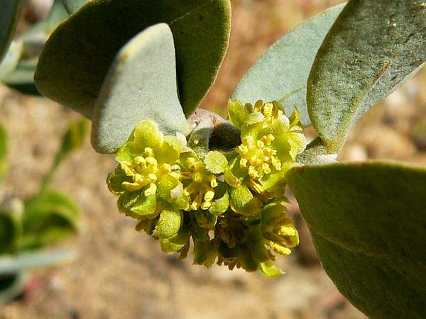 Jojoba (Simmondsia Chinensis) https://www.sagebud.com/jojoba-simmondsia-chinensis