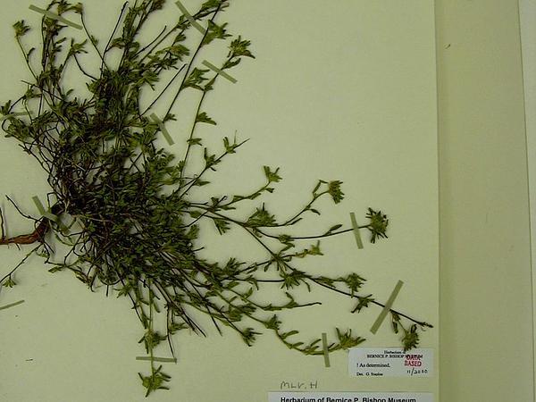 Bracted Fanpetals (Sida Ciliaris) https://www.sagebud.com/bracted-fanpetals-sida-ciliaris
