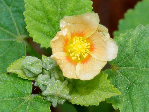 Ilima (Sida Cordifolia) https://www.sagebud.com/ilima-sida-cordifolia