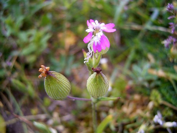 Striped Corn Catchfly (Silene Conica) https://www.sagebud.com/striped-corn-catchfly-silene-conica/