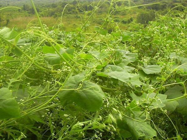 Bur Cucumber (Sicyos) https://www.sagebud.com/bur-cucumber-sicyos