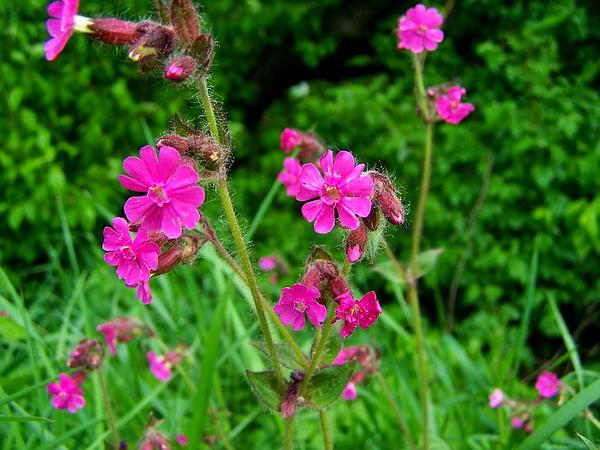 Red Catchfly (Silene Dioica) https://www.sagebud.com/red-catchfly-silene-dioica