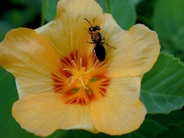 Yellow Ilima (Sida Fallax) https://www.sagebud.com/yellow-ilima-sida-fallax