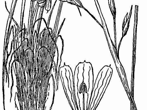 Coastal Plain Blue-Eyed Grass (Sisyrinchium Fuscatum) https://www.sagebud.com/coastal-plain-blue-eyed-grass-sisyrinchium-fuscatum