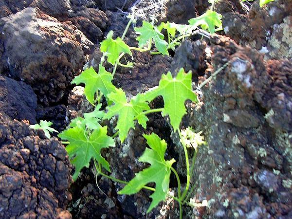 Pricklyfruit Bur Cucumber (Sicyos Hispidus) https://www.sagebud.com/pricklyfruit-bur-cucumber-sicyos-hispidus