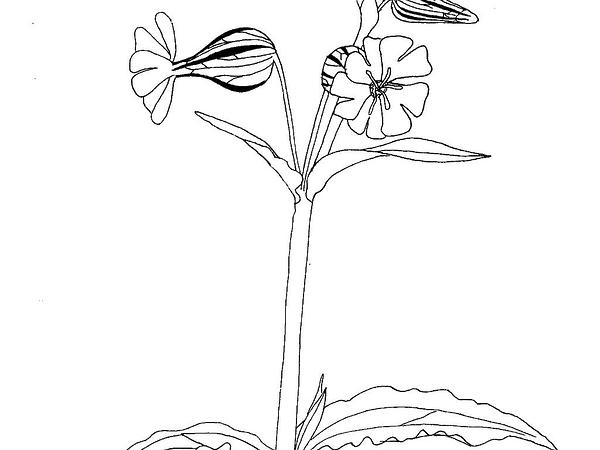 Bladder Campion (Silene Latifolia) https://www.sagebud.com/bladder-campion-silene-latifolia
