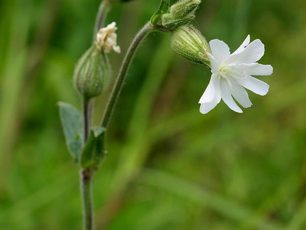 Bladder Campion (Silene Latifolia) https://www.sagebud.com/bladder-campion-silene-latifolia