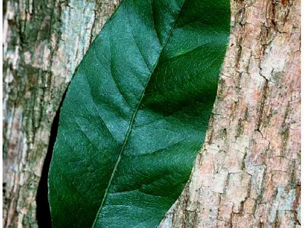 Buckthorn Bully (Sideroxylon Lycioides) https://www.sagebud.com/buckthorn-bully-sideroxylon-lycioides