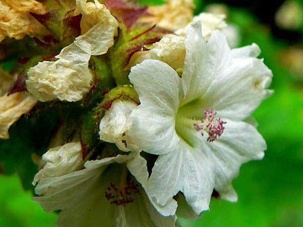 Mapleleaf Checkerbloom (Sidalcea Malachroides) https://www.sagebud.com/mapleleaf-checkerbloom-sidalcea-malachroides