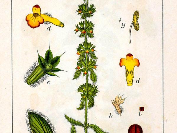 Mountain Ironwort (Sideritis Montana) https://www.sagebud.com/mountain-ironwort-sideritis-montana