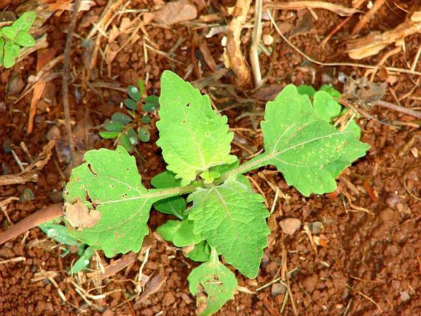Common St. Paul's Wort (Sigesbeckia Orientalis) https://www.sagebud.com/common-st-pauls-wort-sigesbeckia-orientalis