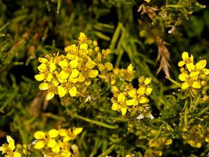 Indian Hedgemustard