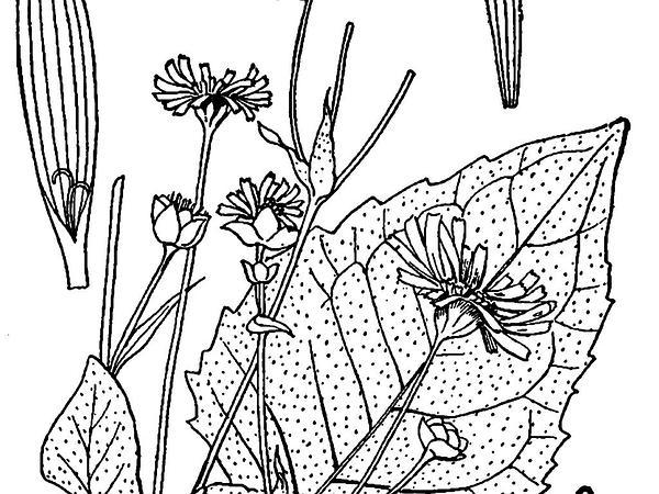 Cup Plant (Silphium Perfoliatum) https://www.sagebud.com/cup-plant-silphium-perfoliatum/