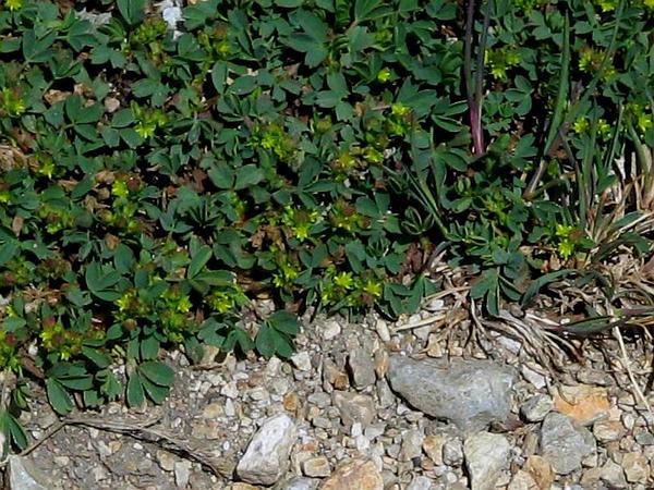 Creeping Sibbaldia (Sibbaldia Procumbens) https://www.sagebud.com/creeping-sibbaldia-sibbaldia-procumbens