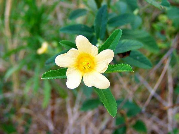 Cuban Jute (Sida Rhombifolia) https://www.sagebud.com/cuban-jute-sida-rhombifolia/
