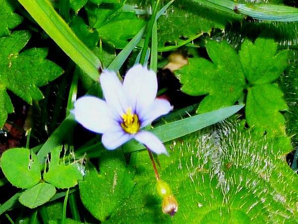 Blue-Eyed Grass (Sisyrinchium) https://www.sagebud.com/blue-eyed-grass-sisyrinchium